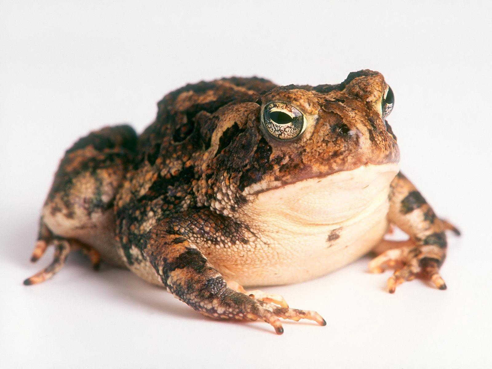Отличаются жаба от лягушки по посадке: у жабы голова всегда ближе к земле